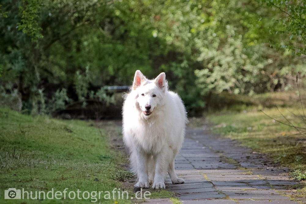 weißer_schaeferhund-100