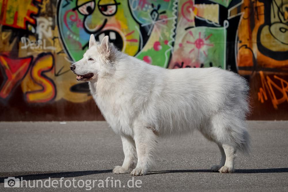 weißer_schaeferhund-101
