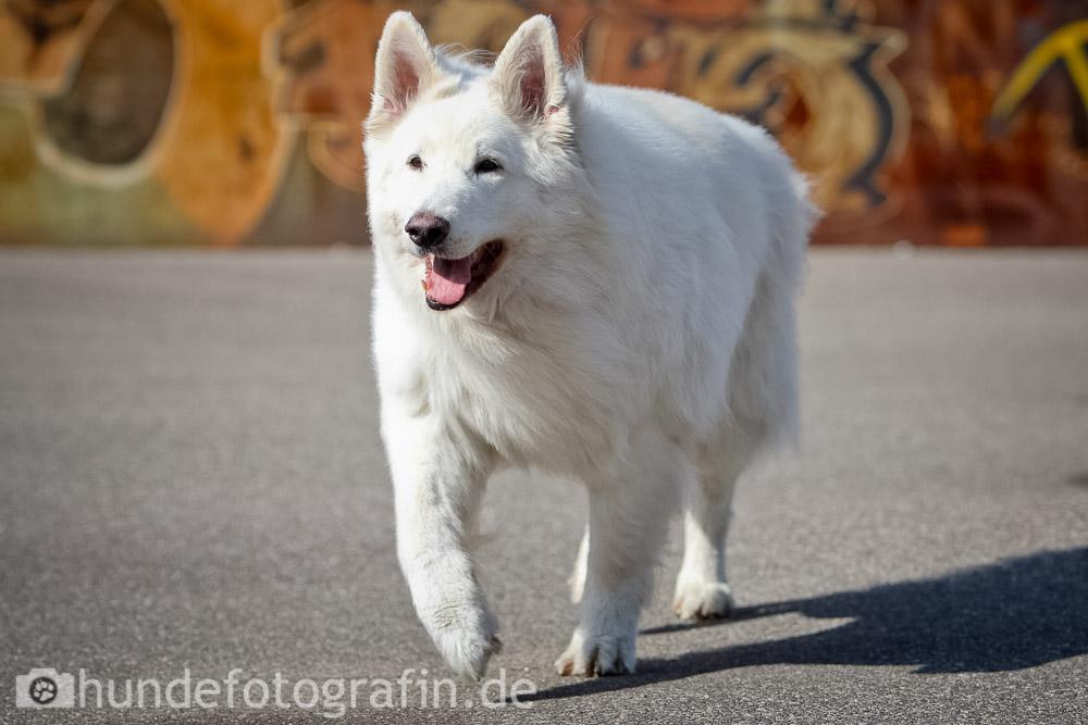 weißer_schaeferhund-102