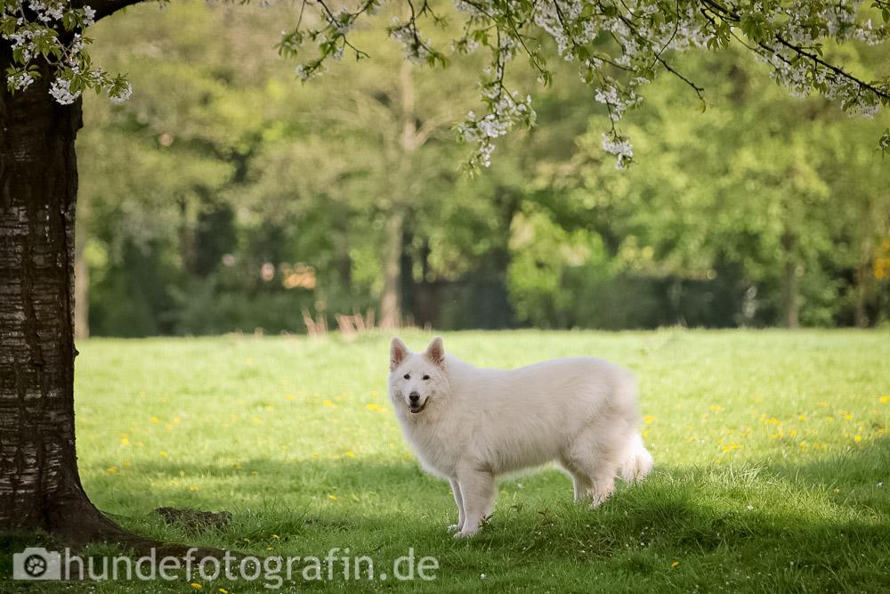 weißer_schaeferhund-103