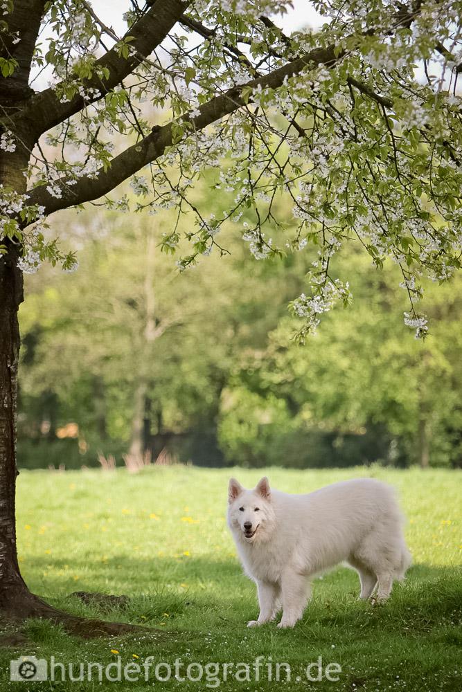 weißer_schaeferhund-104