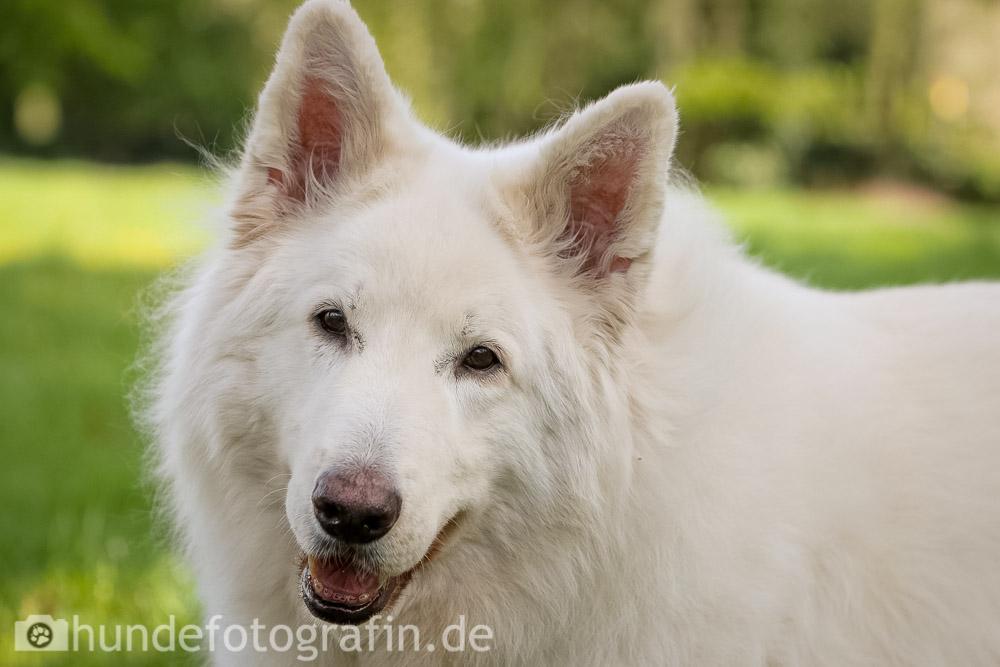 weißer_schaeferhund-105