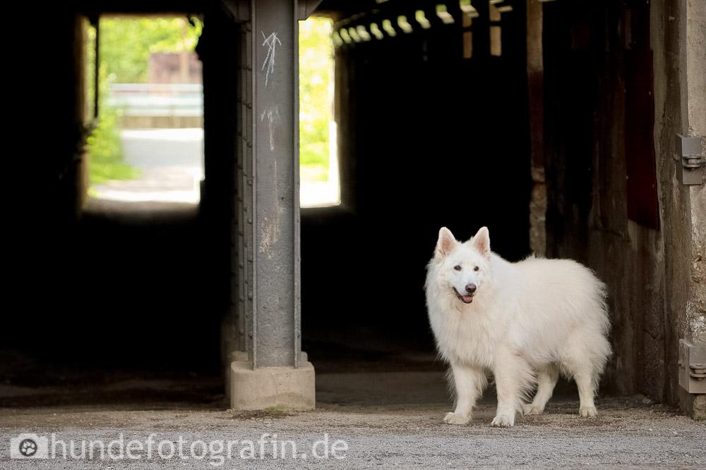 weißer_schaeferhund-106