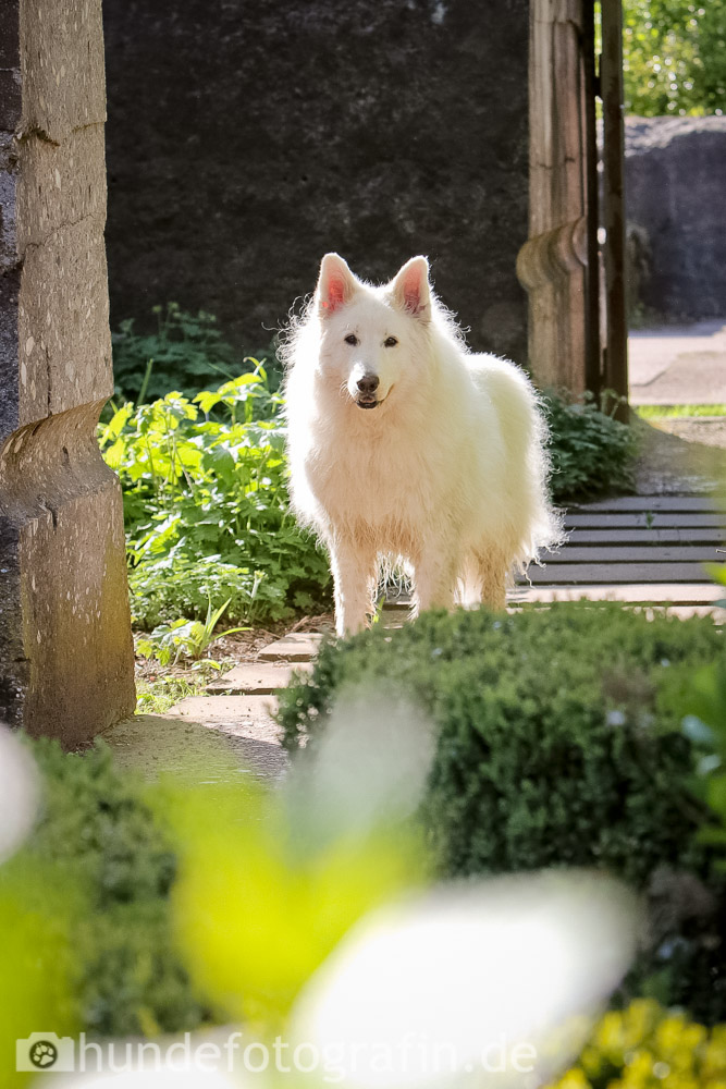 weißer_schaeferhund-107