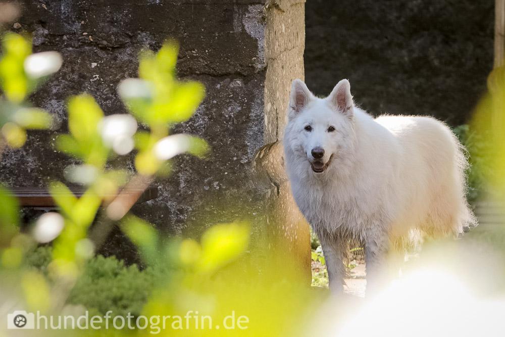 weißer_schaeferhund-109