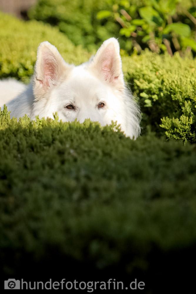 weißer_schaeferhund-110