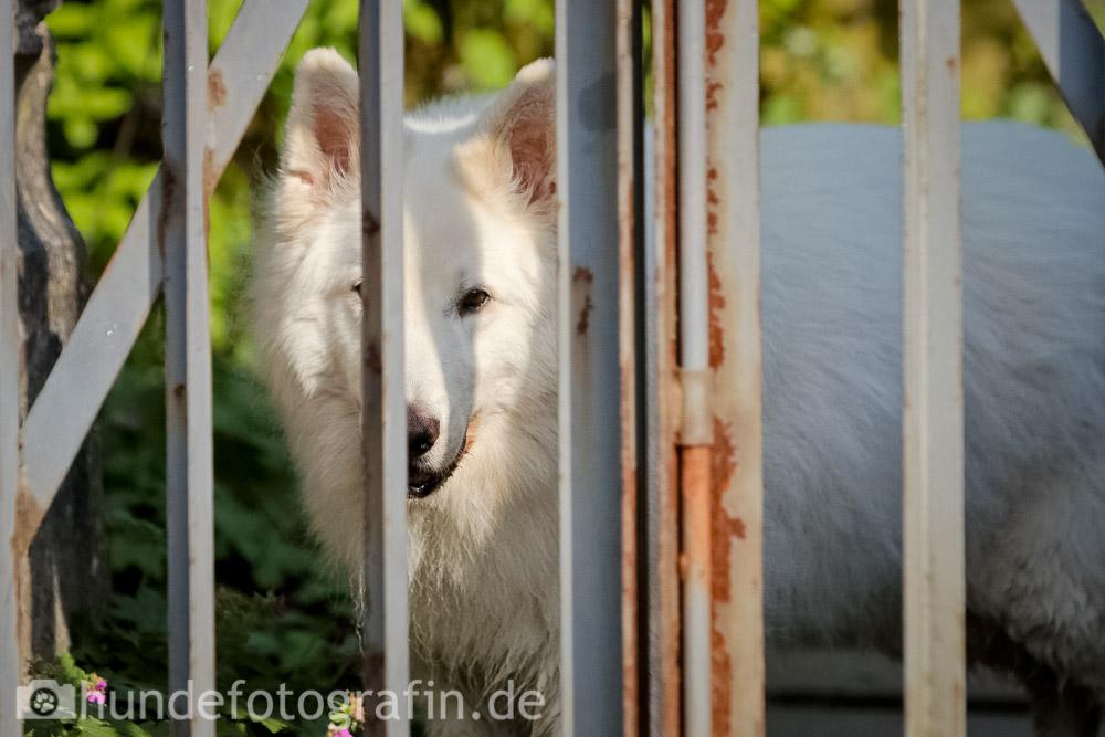 weißer_schaeferhund-111