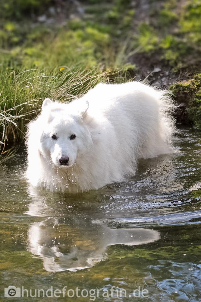 weißer_schaeferhund-113