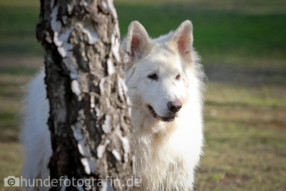 weißer_schaeferhund-115