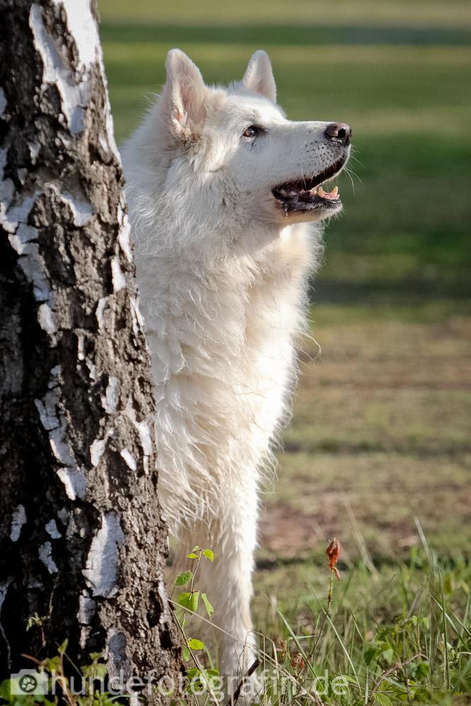 weißer_schaeferhund-116
