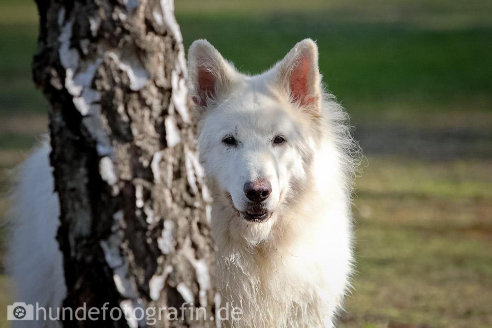 weißer_schaeferhund-120